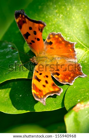 Eastern Comma Butterfly resting on a leaf. - stock photo