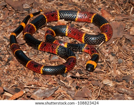 Eastern Coral Snake (Micrurus fulvius) - stock photo