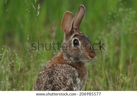 Eastern Cottontail head shot