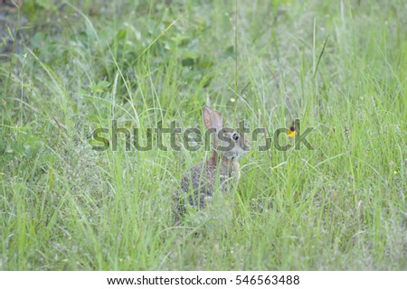 Eastern cottontail rabbit in the wild