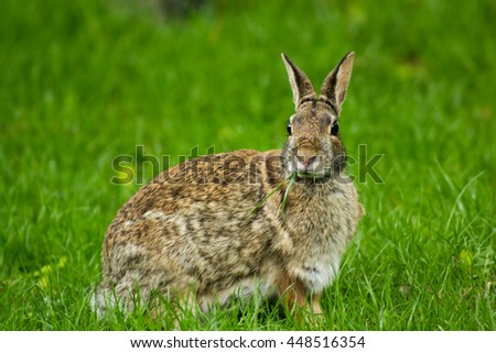 Eastern Cottontail Rabbit Sitting