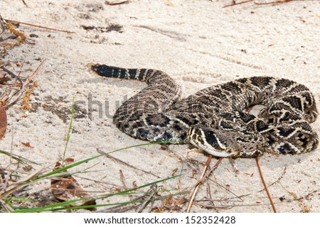 Eastern Diamondback Rattlesnake - stock photo