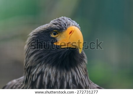 Eastern eagle and his look