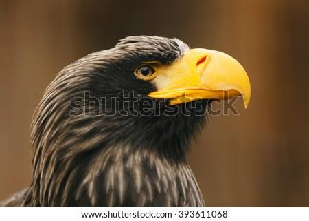 Eastern eagle close up - stock photo