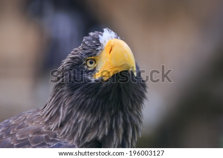 Eastern eagle in detail