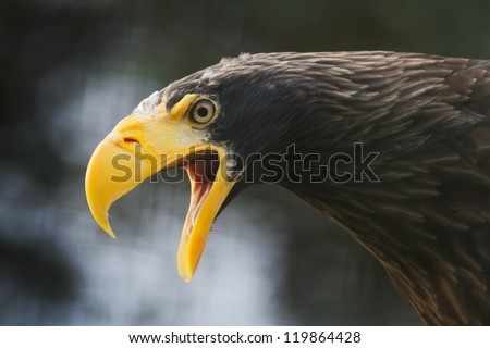 eastern eagle is creaming - stock photo