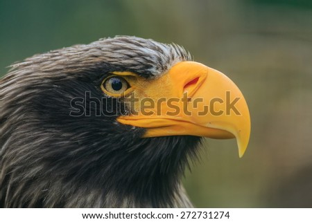 Eastern eagle very close up