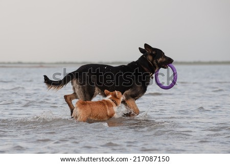 Eastern European shepherd and Welsh corgi pembroke playing in the water with a toy - stock photo
