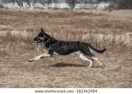 Eastern European Shepherd Running  - stock photo