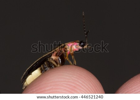 Eastern Firefly (Photinus pyralis) - stock photo