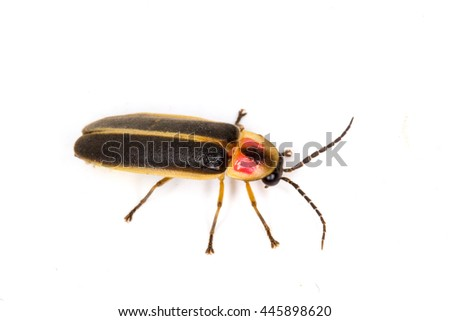 Eastern Firefly (Photinus pyralis) isolated on a white background - stock photo