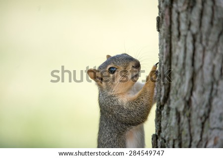 Eastern gray squirrel clinging to the side of a tree and looking towards camera