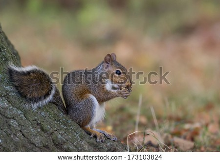 Eastern gray squirrel eating an acorn against a tree. - stock photo