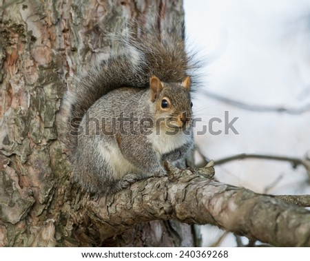 Eastern gray squirrel in winter - stock photo