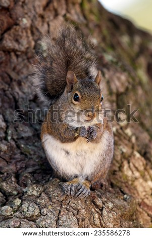 Eastern Gray Squirrel on a tree at dawn in Florida - stock photo
