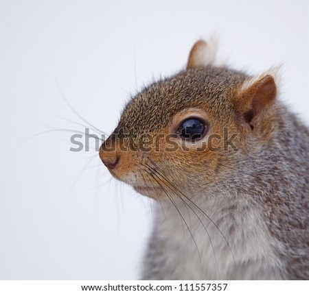 Eastern Gray Squirrel / Sciurus carolinensis, sharp, highly detailed portrait, isolated on a wintry white background; Philadelphia, Pennsylvania