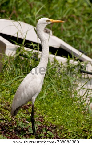 Eastern Great Egret near an old boat beside a lake in Sri Lanka