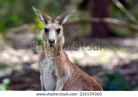 Eastern grey kangaroo female at Coombabah Lake Conservation Park in Gold Coast Queensland, Australia - stock photo