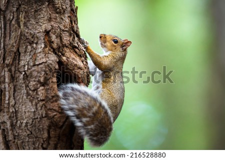 Eastern Grey Squirrel (Sciurus carolinensis) - stock photo