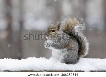 Eastern grey squirrel (Sciurus carolinensis) in the snow.