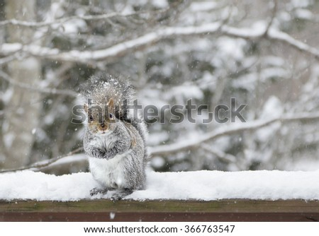 Eastern grey squirrel (Sciurus Carolinensis) sitting on a rail in the snow