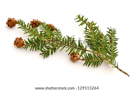 Eastern Hemlock (Tsuga canadensis) - stock photo