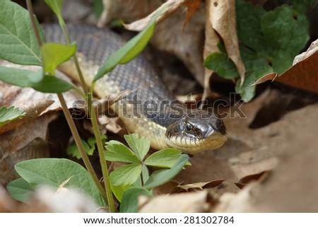 Eastern Hog-nosed Snake (Heterodon platirhinos) - Grand Bend, Ontario, Canada - stock photo