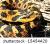 Eastern Hog-nosed Snake in Ontario, Canada - stock photo
