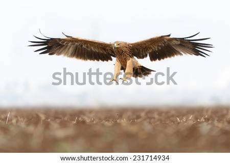 Eastern Imperial Eagle in flight - stock photo