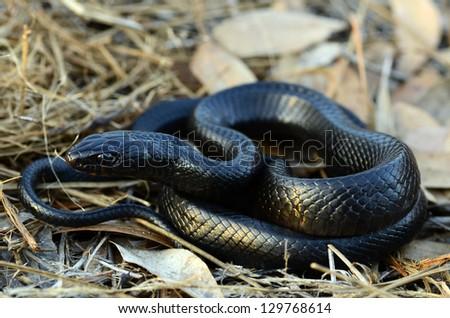 Eastern indigo snake (Drymarchon couperi) - stock photo