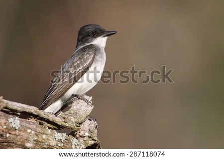 Eastern Kingbird (Tyrannus) on a perch with a colorful background - stock photo