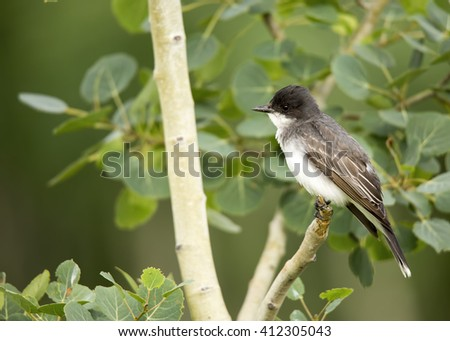 Tyrannus stock images royalty free images vectors shutterstock eastern kingbird tyrannus tyrannus perched in a tree thecheapjerseys Image collections