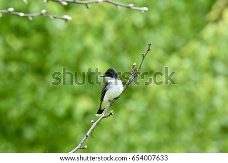 Tyrannus stock images royalty free images vectors shutterstock eastern kingbird tyrannus tyrannus perched on a branch thecheapjerseys Image collections