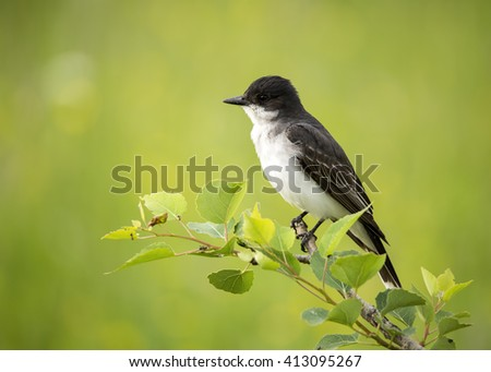 Tyrannus stock images royalty free images vectors shutterstock eastern kingbird tyrannus tyrannus perching on the end of a leafy tree branch thecheapjerseys Image collections