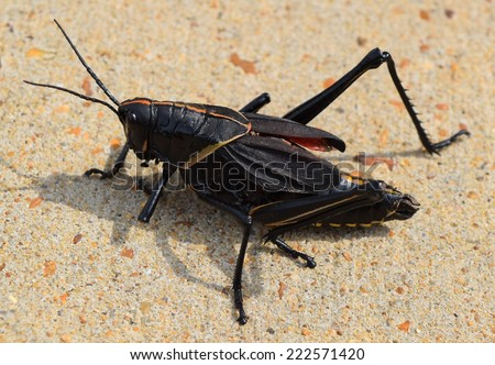 Eastern lubber grasshopper in Mississippi - stock photo