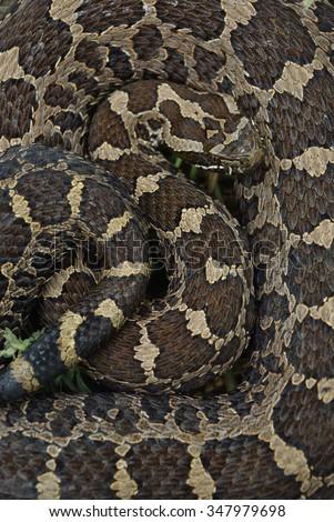 Eastern Massasauga Rattlesnake - stock photo
