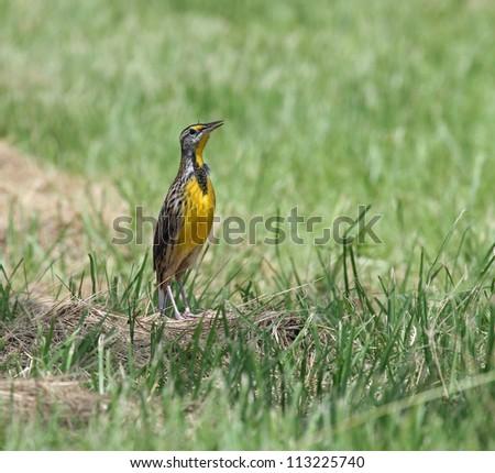 eastern meadowlark - stock photo