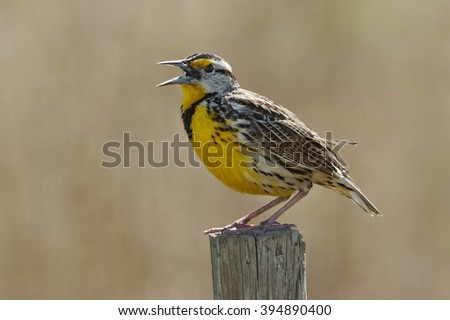 Eastern Meadowlark (Sturnella magna) Singing on a Wooden Fence Post - Florida - stock photo