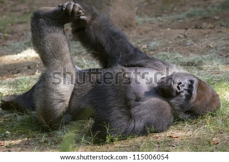 Eastern mountain gorilla - stock photo