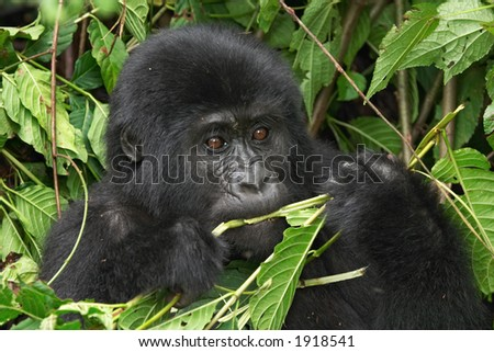 Eastern mountain gorilla baby in rainforest of Uganda - stock photo