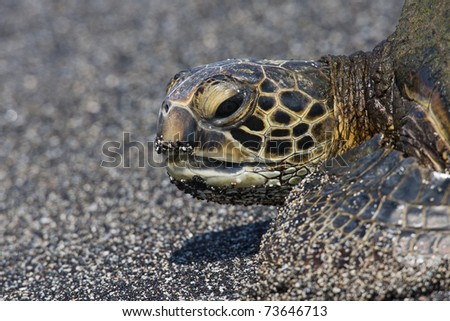 Eastern Pacific Green Sea Turtle (Chelonia mydas agassizii) resting on a sandy beach in Kaloko-Honokohau National Park in Hawaii. - stock photo