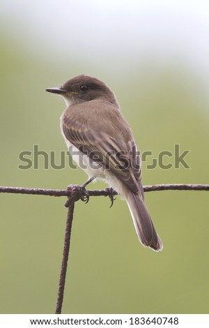 Eastern Phoebe perched on a wire