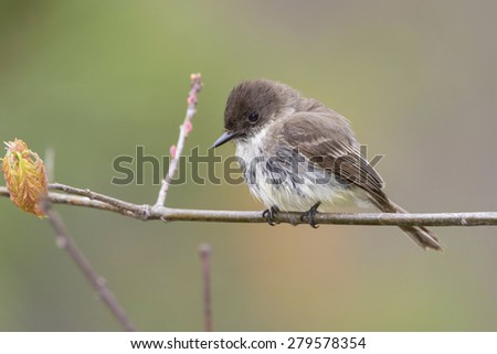 Eastern Phoebe (Sayornis phoebe) perched on a branch in early May - Grand Bend, Ontario, Canada - stock photo