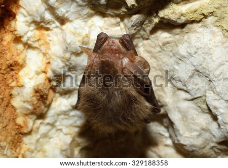 Eastern pipistrelle bat (Pipistrellus subflavus) - stock photo