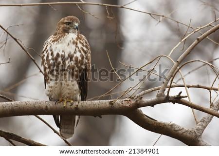 Eastern Red-tailed Hawk (Buteo jamaicensis borealis), juvenile sitting in tree - stock photo