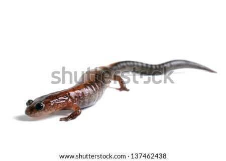 Eastern Redback Salamander - stock photo
