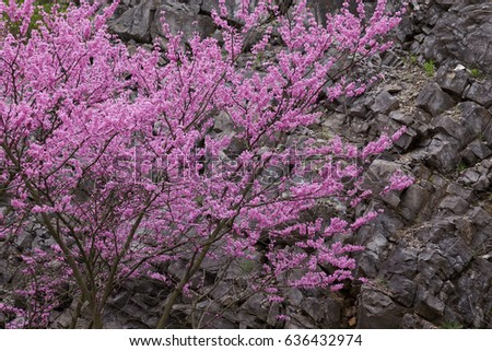 Eastern Redbud along stone cliff