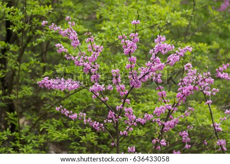 Eastern Redbud blooms against green foliage background