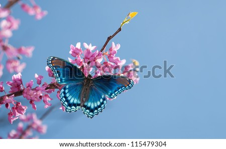 Eastern Redbud tree blooming, with a Red Spotted Purple Admiral butterfly in morning sunlight against blue sky - stock photo