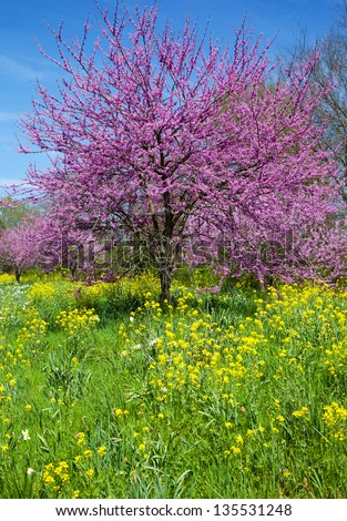 Eastern Redbud Tree (Cercis canadensis) with Wild Mustard (Brassicaceae) - stock photo